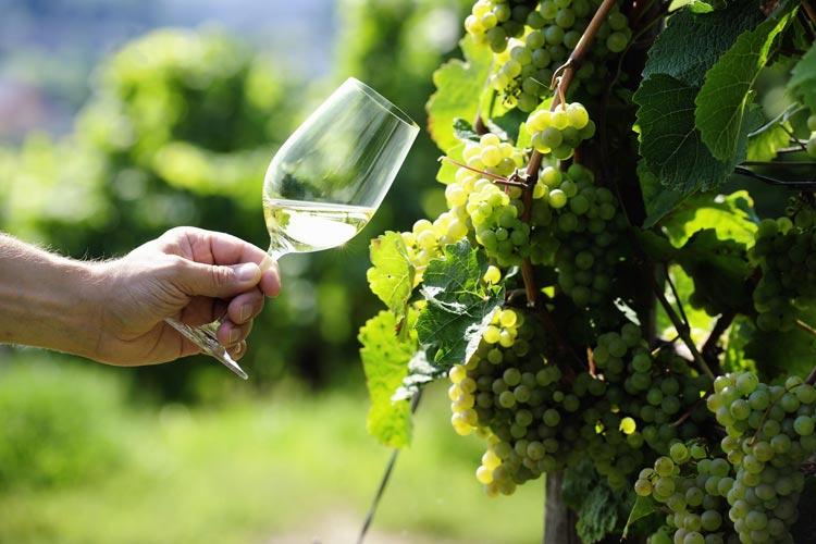 Degustacja wina - Riesling