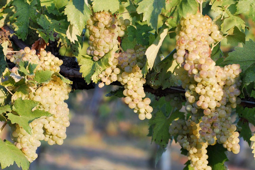vernaccia di san gimignano wina toskanii